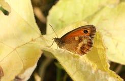 Un tithonus assez nouvellement émergé de Pyronia de papillon de portier étant perché sur une feuille Photographie stock libre de droits
