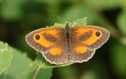 Un tithonus assez nouvellement émergé de Pyronia de papillon de portier étant perché sur une feuille dans la région boisée Images stock