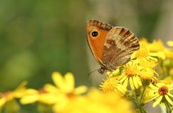 Un tithonus assez nouvellement émergé de Pyronia de papillon de portier nectaring sur le Ragwort fleurit Images stock