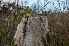 Un tocón de árbol en caída con un poco de cielo azul behing Imagen de archivo libre de regalías