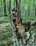 Un tocón de árbol putrefacto siente bien a un monstruo, un duende, un duende, pirata si los remiendos de la luz y de la sombra cr Imagen de archivo libre de regalías