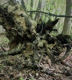 Un tocón de árbol putrefacto siente bien a un monstruo, un duende, un duende, pirata si los remiendos de la luz y de la sombra cr Imagenes de archivo