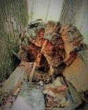 Un tocón de árbol putrefacto siente bien a un monstruo, un duende, un duende, pirata si los remiendos de la luz y de la sombra cr Fotos de archivo