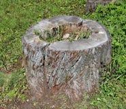 Un tocón de roble putrefacto entre la hierba fotografía de archivo