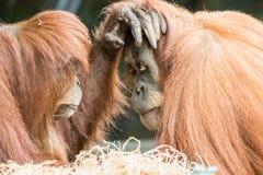 Un tocco di due orangutan sul fronte Immagine Stock