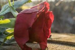Un tocco di rosa Immagine Stock