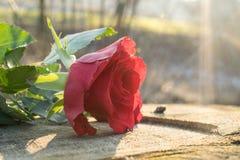 Un toque una rosa Imágenes de archivo libres de regalías