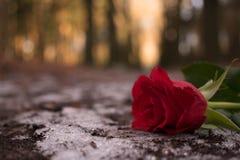 Un toque una rosa Imagen de archivo