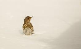 Tordo de canción pegado en la nieve Fotografía de archivo