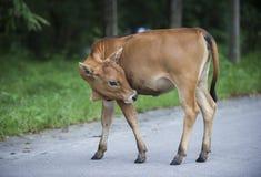 Un toro Immagini Stock Libere da Diritti