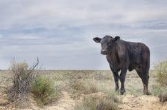 Un toro fotografie stock libere da diritti
