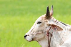 Un toro Fotografia Stock