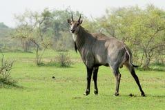 Un toro blu, o antilope del Nilgai, facente il suo affare! Fotografia Stock Libera da Diritti