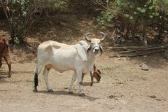 Un toro che aspetta appena il suo padrone; chiamata di s immagine stock libera da diritti