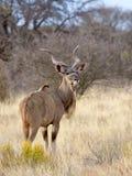 Un toro de Kudu se coloca en un claro seco, herboso en el parque nacional de Mokala en Suráfrica Fotografía de archivo