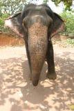Un toro del elefante Fotos de archivo