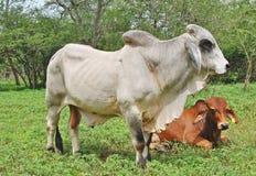 Un toro e una mucca del bramano Immagini Stock Libere da Diritti
