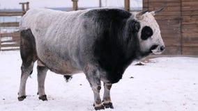 Un toro gris-negro grande pasta en un rancho del invierno almacen de video