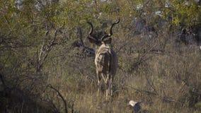Un toro Kudu que se va almacen de metraje de vídeo