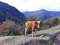 Un toro marrón que mira la cámara imágenes de archivo libres de regalías