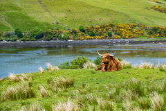 Un toro scozzese Fotografie Stock Libere da Diritti