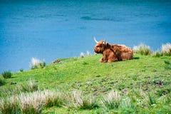 Un toro scozzese Immagine Stock Libera da Diritti