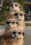 Un totem di Meerkats Fotografia Stock Libera da Diritti