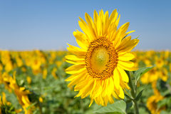 Un tournesol Photographie stock