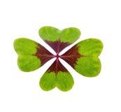 Un trèfle chanceux vert Image stock