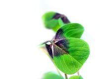 Un trébol afortunado de cuatro hojas Imagen de archivo libre de regalías