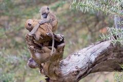 Un trío de la aceituna, o sabana, bebés del babuino en el juego Fotografía de archivo