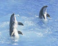 Un trío Spyhop del delfín de Bottlenosed en agua azul Imágenes de archivo libres de regalías