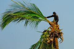 Un trabajador está subiendo árboles de coco imagen de archivo libre de regalías