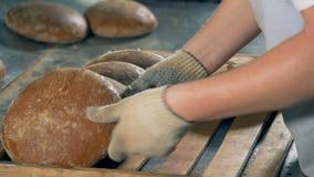 Un trabajador recoge los panes redondos calientes del pan en una bandeja de madera para embalar almacen de video