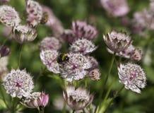 Un trabajo manosea la abeja en un Astrantia Fotos de archivo