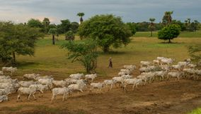 Un tramonto rilassato pacifico con un gregge del bestiame n Myanmar dello zeb? fotografie stock libere da diritti