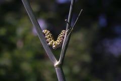 Swallowtail nero Catrpillar Immagini Stock Libere da Diritti