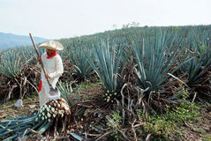 Un travail d'homme dans l'industrie de tequila photo libre de droits