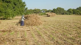 Un travail de femme de village rural dans un domaine en mettant le maïs dans un tas Photos libres de droits