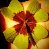 Un trifoglio di quattro foglie, acetosella Fotografia Stock Libera da Diritti