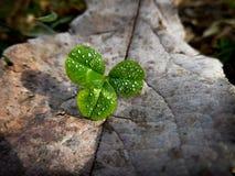 Un trifoglio di tre foglie nel primo mattino Fotografia Stock Libera da Diritti
