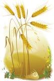 Un trigo madurado Imagen de archivo libre de regalías