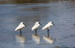 Un trio de regia royal de Platalea de spatule avec le plumage d'élevage dans un marécage sur la péninsule du ` s Otago du Nouvell image stock