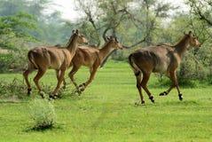 Un trio del nilgai, corrente attraverso le pianure del Ragiastan, l'India Fotografie Stock