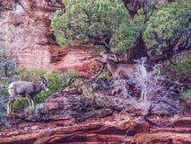 Un trio des chèvres de montagne sauvages Photographie stock libre de droits