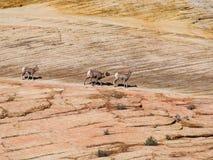 Un trio des chèvres de montagne sauvages Images libres de droits