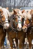 Un trio des chevaux de trait Photographie stock libre de droits