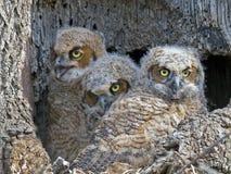 Un trio di grandi giovani civette dei gufi cornuti in nido Fotografia Stock Libera da Diritti