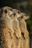 Un trio di Meerkats Fotografia Stock