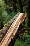 Un tronc d'arbre image libre de droits